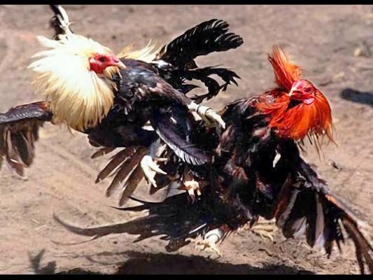 Resultado de imagen para gallos de pelea camboya
