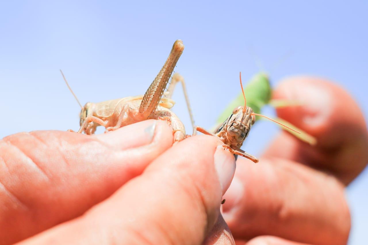 Gobierno confirma que no hay mangas de langosta voladora que amenacen cultivos en el país